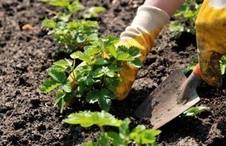 Клубника: уход весной. советы бывалых садоводов по восстановлению и удобрению клубники после зимы