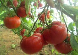 Сорт томата «агата» — описание и характеристика