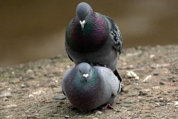 Спаривание голубей: способность размножаться, паровка птиц, выведение птенцов из яиц и уход за потомством