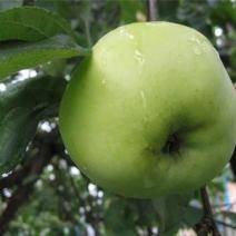 Сорт яблони ветеран - мыдачники