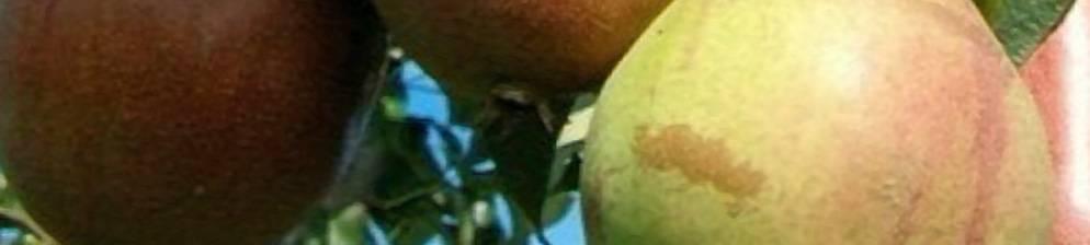 Груша маршал жуков — описание сорта, фото, отзывы садоводов