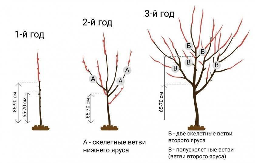 Схема правильной обрезки абрикоса весной, летом и осенью с видео: как правильно обрезать абрикосовое дерево