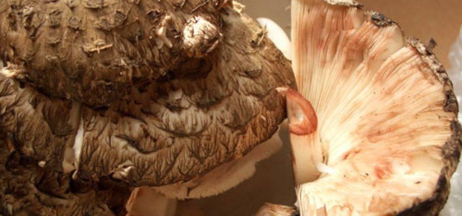 Зонтик пёстрый. описание, где растет, похожие виды, фото