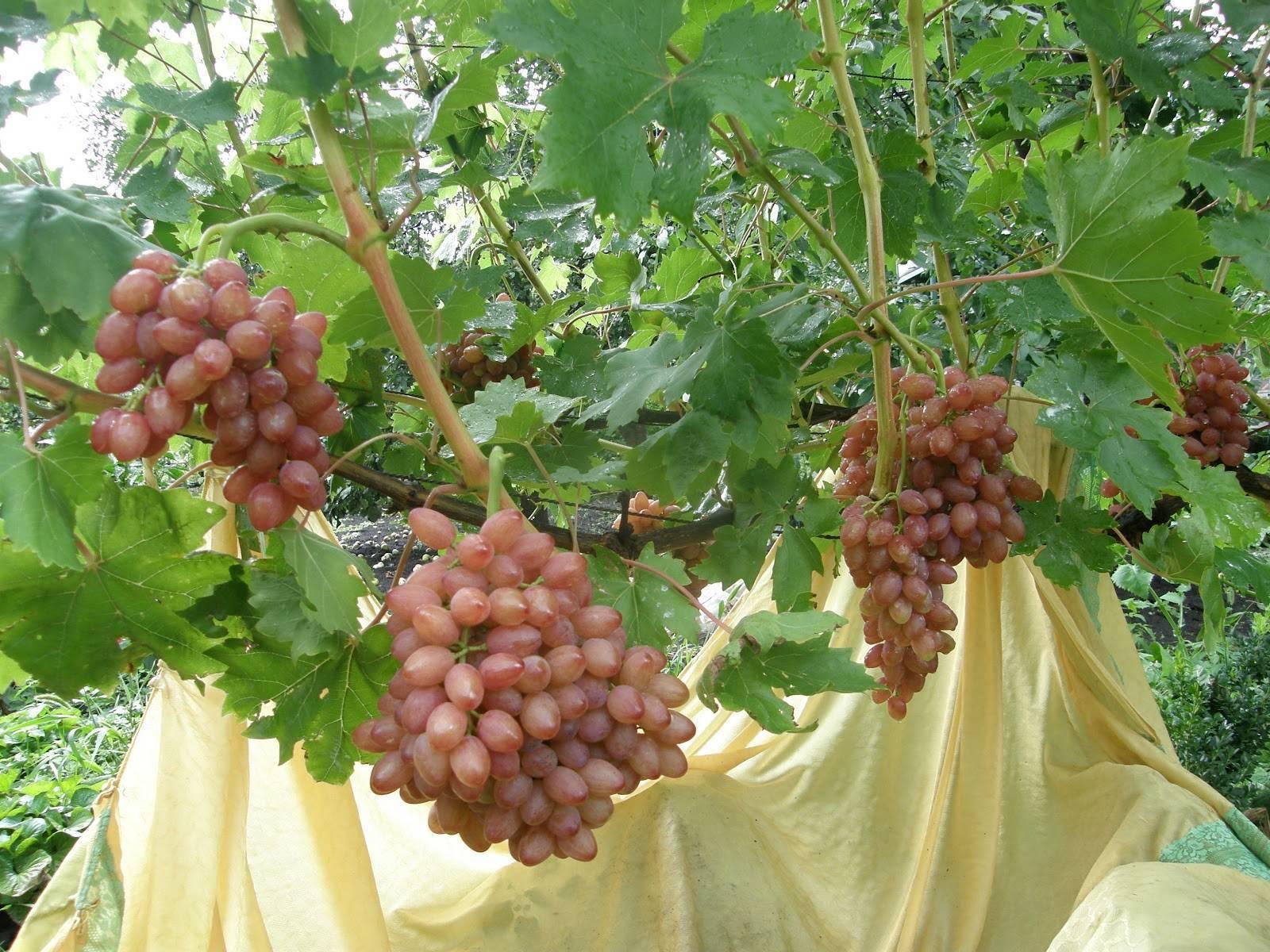 Виноград кишмиш лучистый: характеристики сорта высокой урожайности, описание