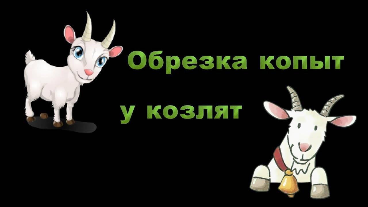 Обрезка копыт у козы (20 фото): как правильно подстричь копыта у козы в домашних условиях? ножницы для обрезки копыт. обработка копыт у парнокопытных, пошаговая инструкция