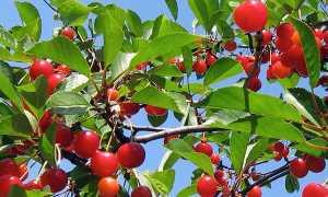 ✅ о вишне кармин джуэл: описание и характеристики сорта, уход и выращивание - tehnomir32.ru