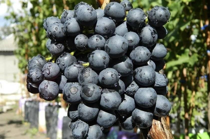 Какова польза от синего винограда для организма и может ли быть вред от его употребления?