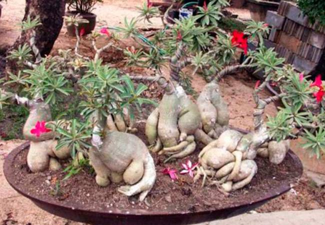 Адениум (53 фото): уход за цветком в домашних условиях, грунт для выращивания «розы пустыни» дома