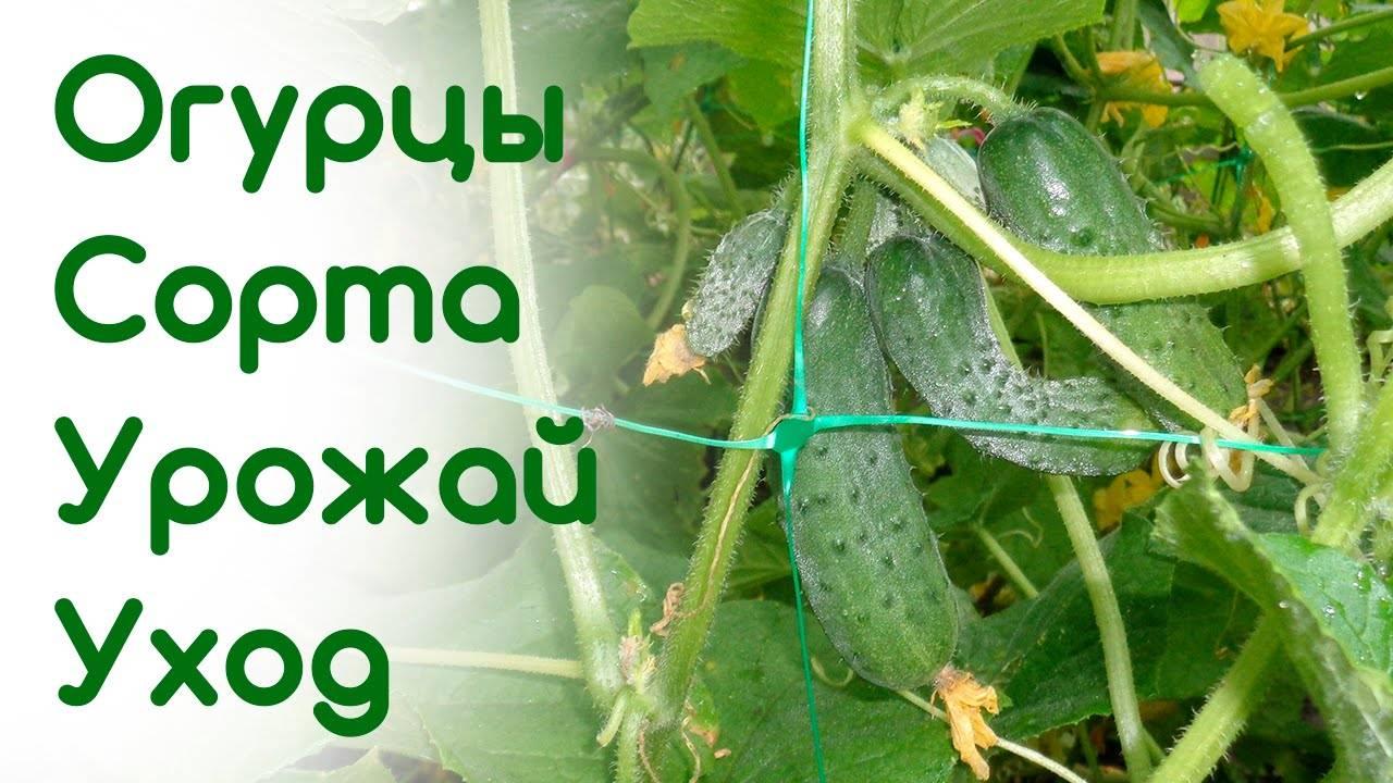 Огурец емеля: описание сорта, фото, отзывы