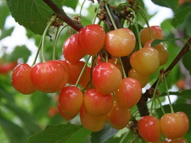 Черешня бряночка: фото, отзывы и описание морозоустойчивого и неприхотливого сорта плодового дерева, а также посадка, выращивание и уход