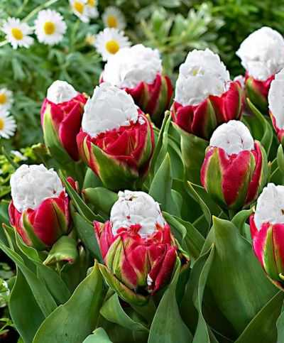 Необычные тюльпаны сорта пломбир