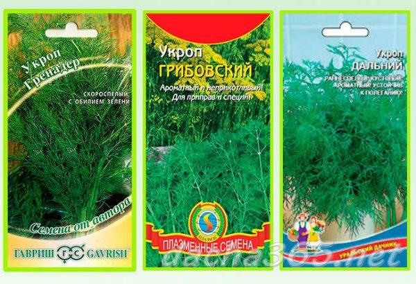 Выращивание укропа на подоконнике из семян: как посадить дома в квартире в горшке, можно ли зимой, сколько растет в этих условиях, почему лучше не сеять ранний сорт? русский фермер