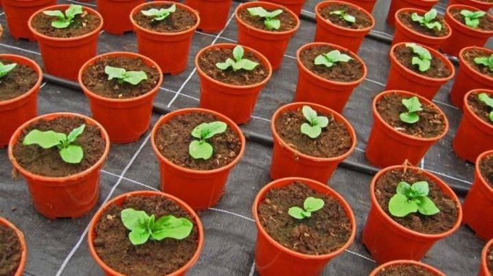 Выращивание герберы садовой: посадка и уход в открытом грунте, размножение, видео инструкция