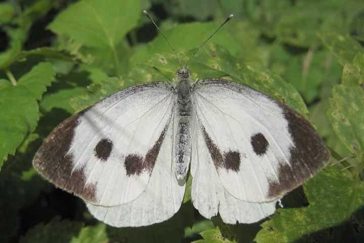 Бабочка капустница: сколько живет и чем питается вредитель, фото и видео русский фермер