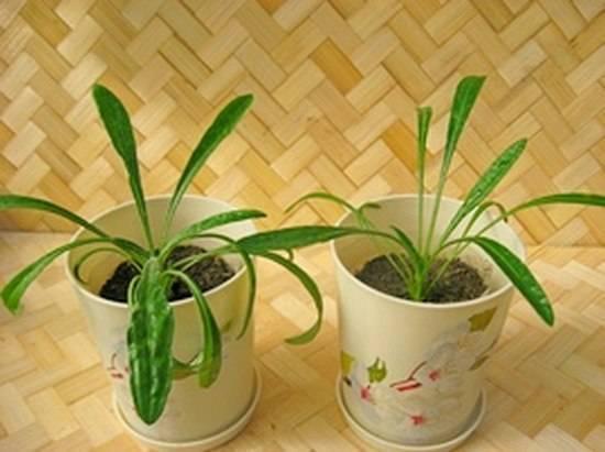 Выращивание гацании из семян в домашних условиях