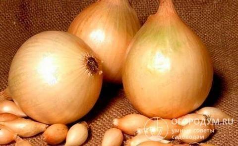 Лук стурон репчатый: описание, характеристика голландского желтого сорта, выращивание из семян, посадка севка, уход и можно ли сажать под зиму, как вырастить зелень?
