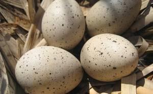 Можно ли употреблять гусиные яйца в пищу: в чём их польза и вред
