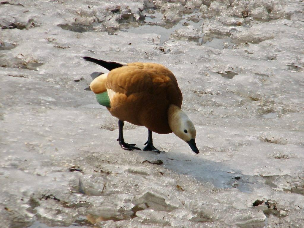 Хохлатая пеганка - утка с выдающейся историей