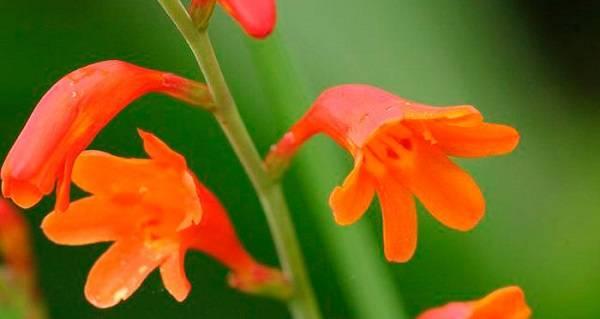 Крокосмия (монтбреция) многолетняя: описание, фото цветка, посадка, уход в открытом грунте