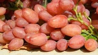 Виноград «кишмиш лучистый»: описание сорта, обрезка, отзывы