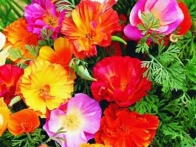 Эшшольция: выращивание из семян, когда сажать, особенности ухода и полива, фото - sadovnikam.ru