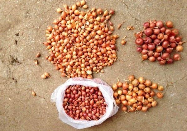 Чем обработать лук-севок перед посадкой, чтобы получить урожай