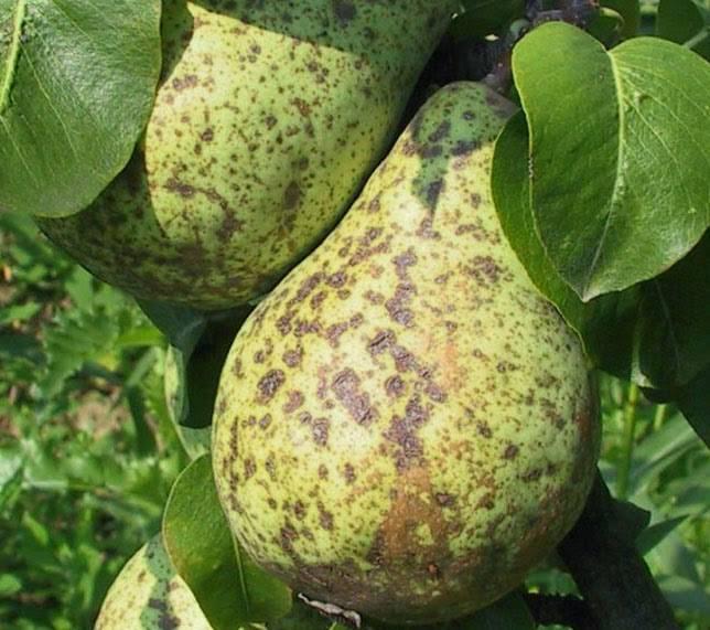 Чем лечить паршу на листьях груши: как бороться с черными пятнами