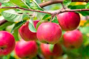 Почему яблоня не цветет и не плодоносит - что делать