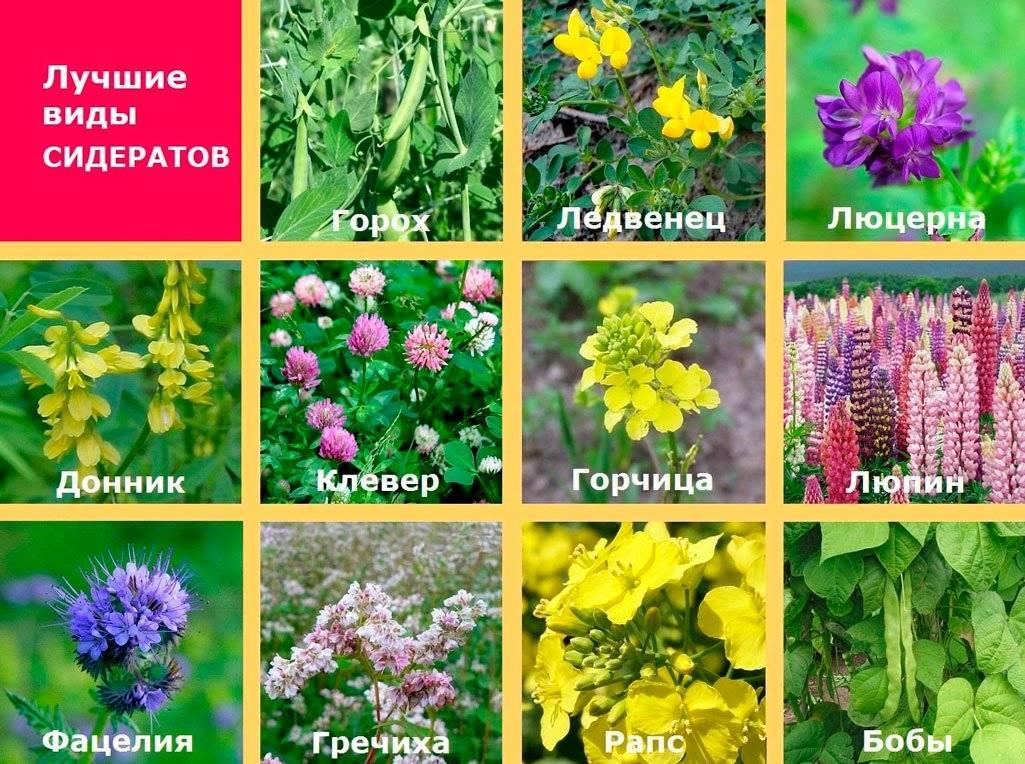Весенние сидераты: выбор растений для посадки, где и как сеять
