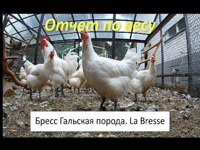 Бресс галльские куры – французская находка для птицевода