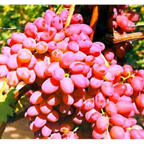 Описание сорта винограда кишмиш находка: фото и отзывы | vinograd-loza