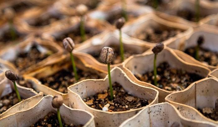 Выращивание кофейного дерева: особенности ухода за растением