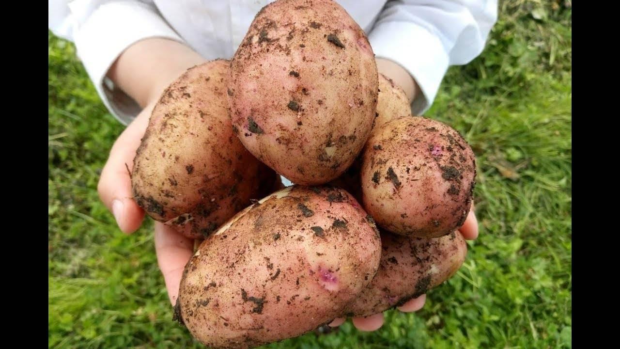 Сорт картофеля метеор описание и особенности выращивания