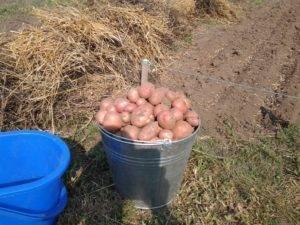 Посадка и выращивание картофеля по китайской технологии