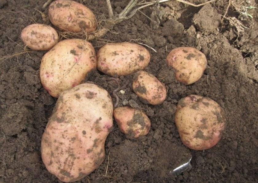 Картофель киевский свитанок: описание сорта, фото, отзывы об урожайности и особенностях выращивания, а также характеристика вкусовых качеств клубней