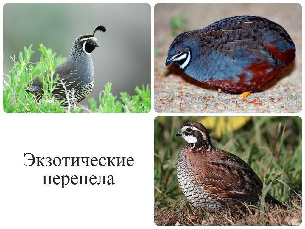 Виды охоты на перепела