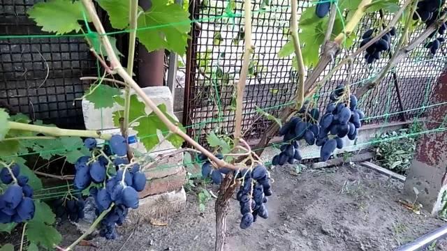 Описание сорта винограда ромбик – что за странное название?