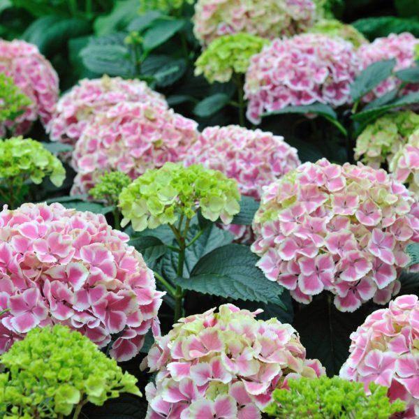 О сортах крупнолистой гортензии (макрофила): описание, как посадить и ухаживать