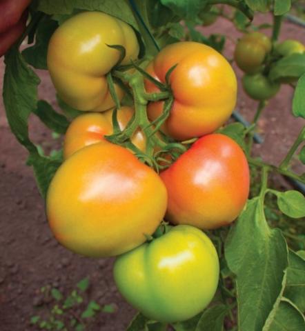 Томат кибо – особенности гибрида, подробное описание, нюансы агротехники