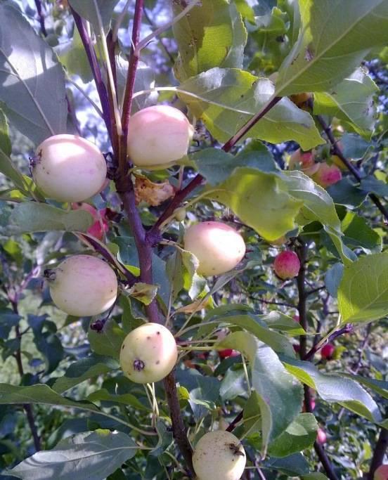 Посадка яблони весной — секреты обильного урожая