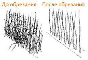 Обрезка малины осенью - инструкция для начинающих, сроки, высота, ремонтантные сорта