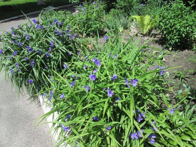 Традесканция садовая многолетняя: посадка и уход в открытом грунте