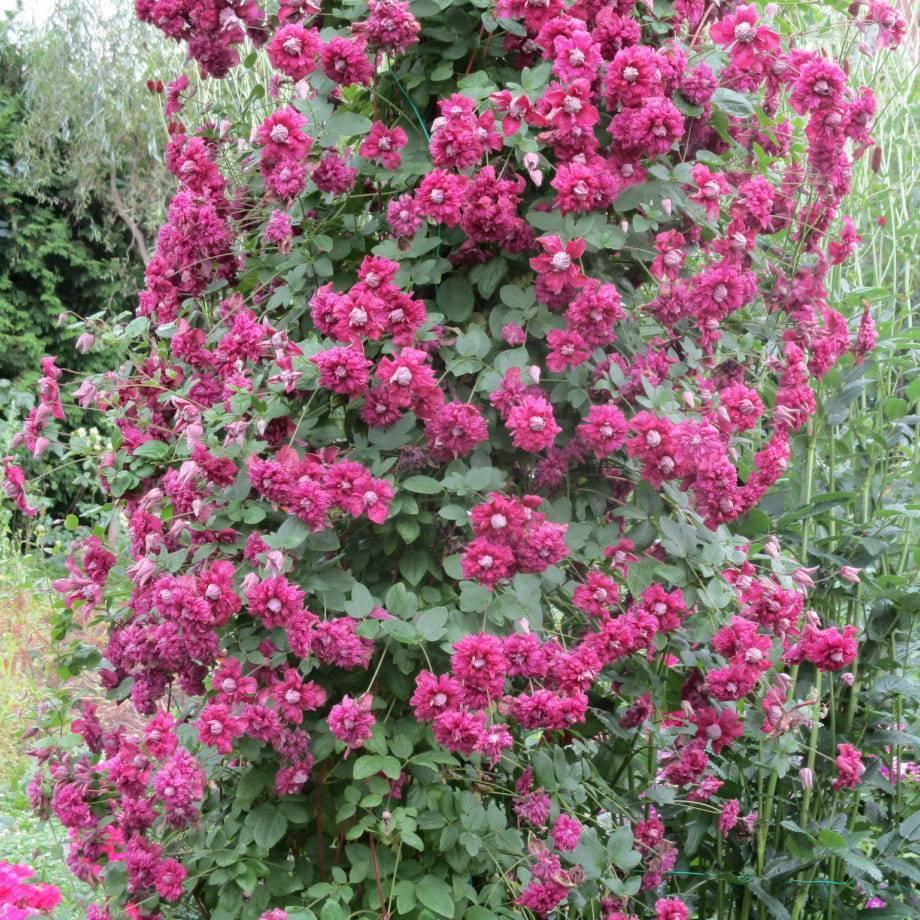 Клематис сорта «пурпуреа плена элеганс» — неприхотливый садовый красавец