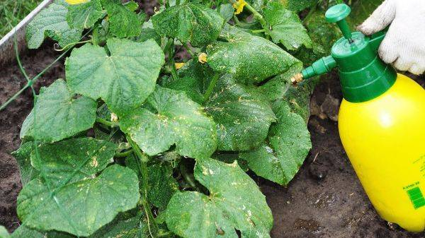 Как и чем подкормить огурцы: народные средства, органические, минеральные удобрения