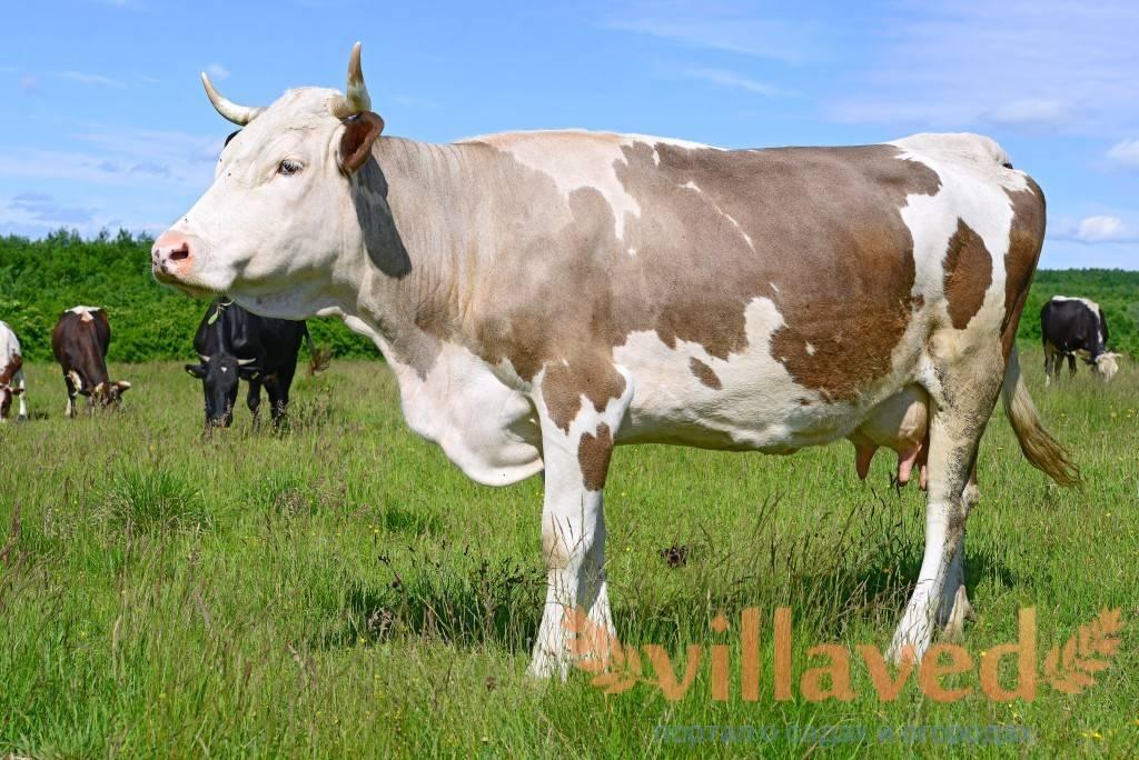 Определение массы крупного рогатого скота - сколько весит корова 2021