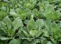 Почему у капусты фиолетовые листья и что делать, чего не хватает - всё про сады