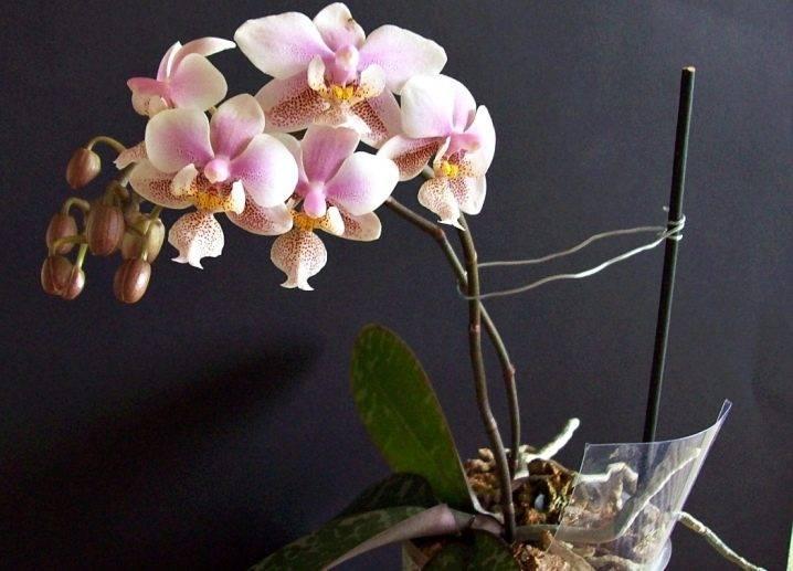 Орхидеи в природе: всё о том, какими они бывают, где и как растут в диких условиях, например, на деревьях, а также фото живых цветов русский фермер