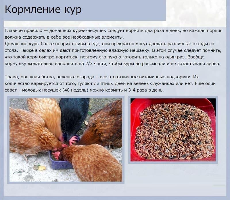 Содержание кур несушек зимой в домашних условиях: условия, температура, рацион, корм и другие аспекты