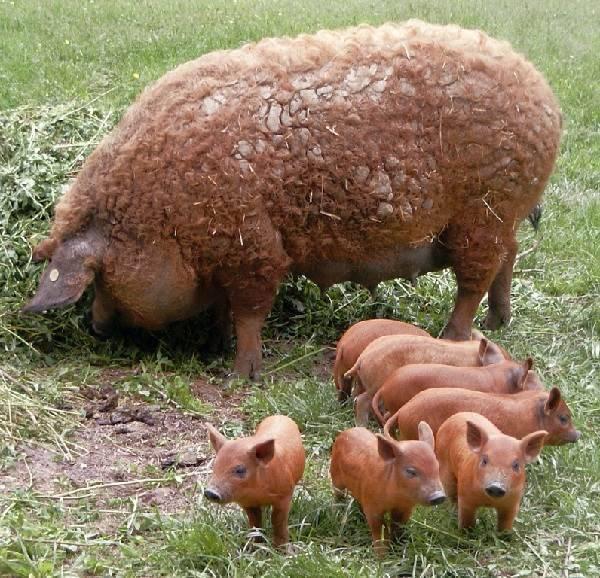 Венгерская мангалица – пуховая порода свиней с мраморным мясом 2021