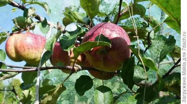 Яблоня медуница: описание сорта, фото и отзывы, посадка